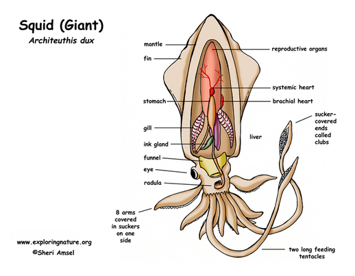 Squid Respiratory System Diagram