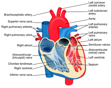 Heart dissection a level biology when comparing the heart diagram and the picture of the dissected heart you are able to see the different sections the section of the heart towards the ccuart